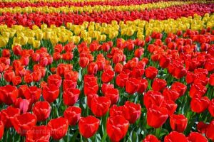 Tulpenmuseum
